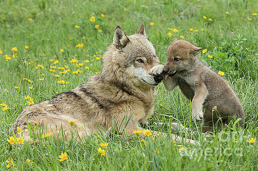Tibor Vari - Alpha Female Wolf Playing With Pup
