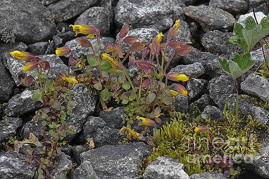 Rod Wiens - Alpine Flowers