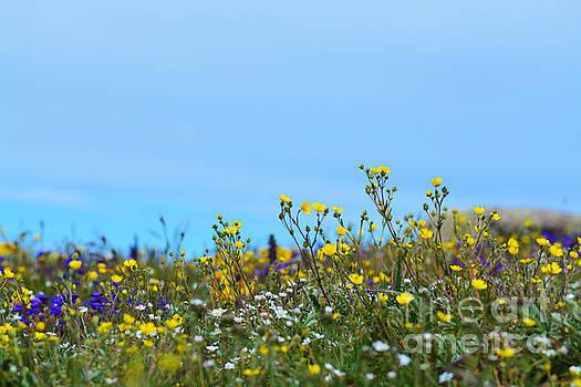 Kate Avery - Alpine Wildflowers