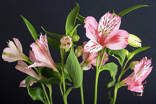 Alstroemeria, the black background by Sergei Dolgov