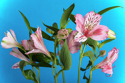 Alstroemeria, the blue background by Sergei Dolgov