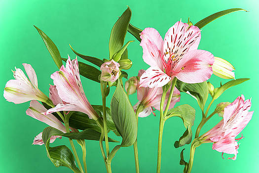 Alstroemeria, the green background by Sergei Dolgov