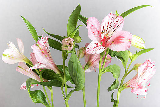 Alstroemeria, the grey background by Sergei Dolgov