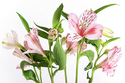 Alstroemeria, the white background by Sergei Dolgov