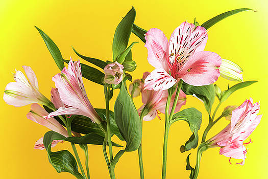 Alstroemeria, the yellow background by Sergei Dolgov