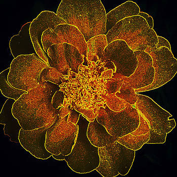 Altered Marigold by Amy Jo Garner