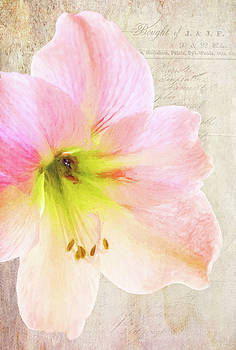 Amaryllis by Lee Fortier