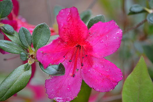 Amazing Azalea by Joe Bledsoe