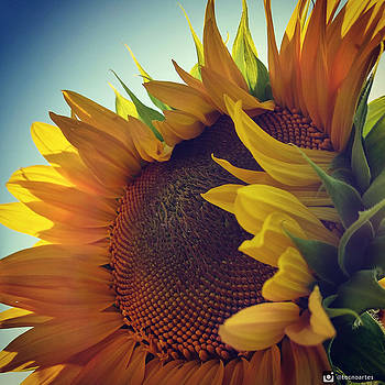 Amazing Sunflower by Miguel Angel