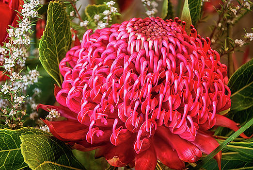 Amazing Waratah Flower by Daniela Constantinescu