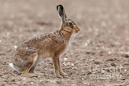Simon Bratt Photography LRPS - Amazing wild european hare close up sat in a arable field