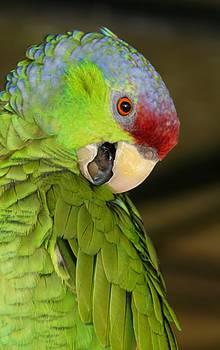 Amazon Lilac Crown Parrot by Sheryl Unwin