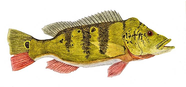Amazonian Peacock Bass by Thom Glace