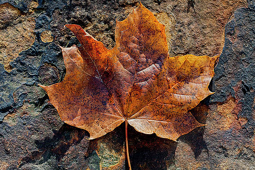 Amber Colored Leaf on Stone by Susan Schmidt