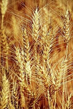 Marty Koch - Amber Waves of Grain 1