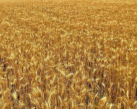 Amber Waves of Grain by Rob Michalowski