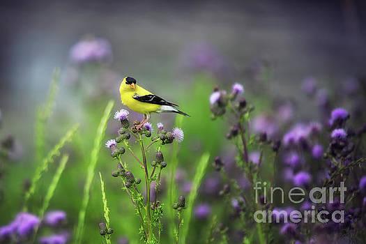 Amercian Goldfinch by Ian McGregor