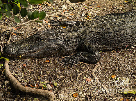 American Alligator 2 by Tracy Knauer