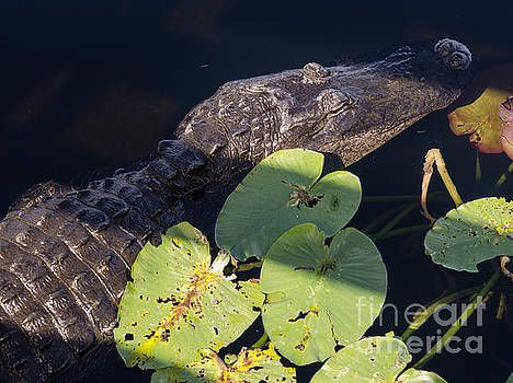 American Alligator 3 by Tracy Knauer