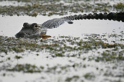 American Alligator by Chad Myers