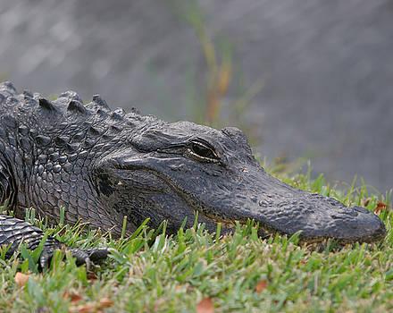 American Alligator - Everglades FL by Bob See