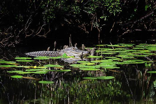 American Alligator in South Walton Florida by Kurt Lischka