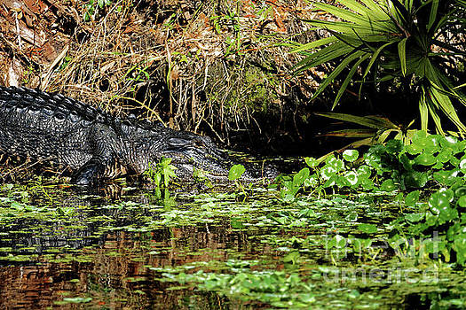 American Alligator by Paul Mashburn