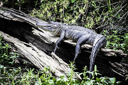 Chris Coffee - American Alligator Resting on a Log