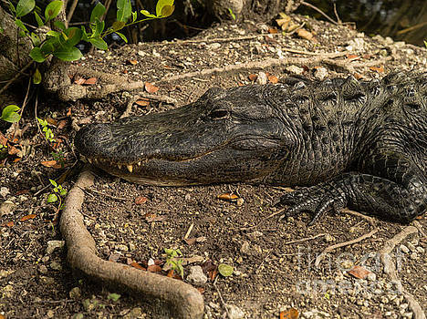 American Alligator by Tracy Knauer