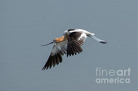 American Avocet Flight by Mike Dawson