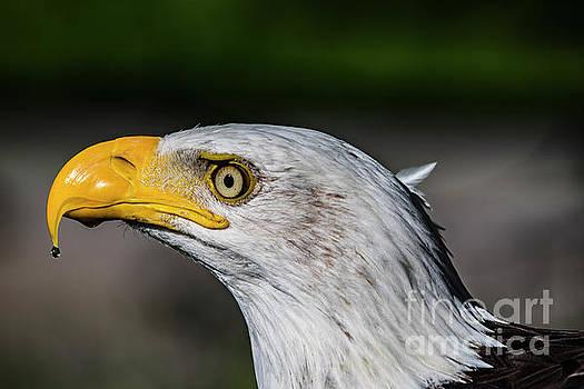 American Bald Eagle  by CJ Park