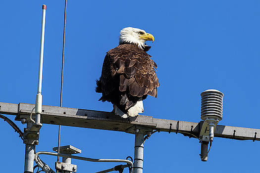 American Bald Eagle on Communication Tower by David Gn