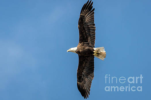 American Bald Eagle by Patrick Shupert