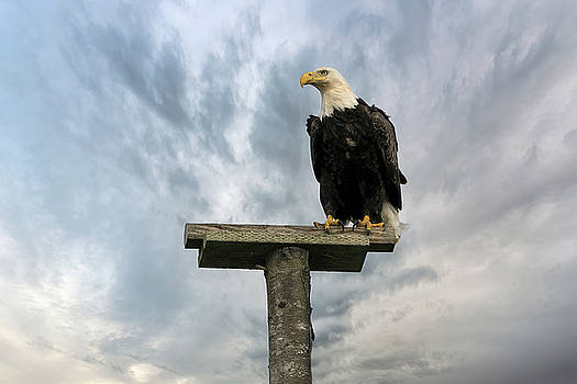 American Bald Eagle Perched on a Pole by David Gn