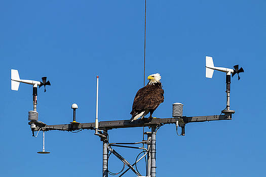 American Bald Eagle perched on Communication Tower by David Gn