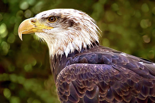 American Bald Eagle Profile by Peggy Collins