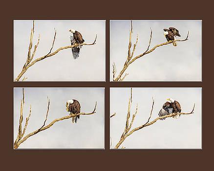 James BO  Insogna - American Bald Eagle Progression
