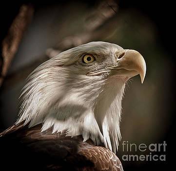 American Bald Eagle by Robert Frederick