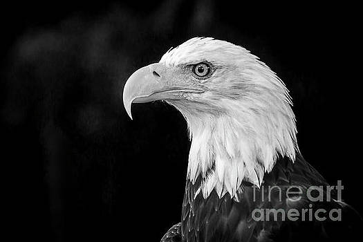 American Bald Eagle by Sal Ahmed