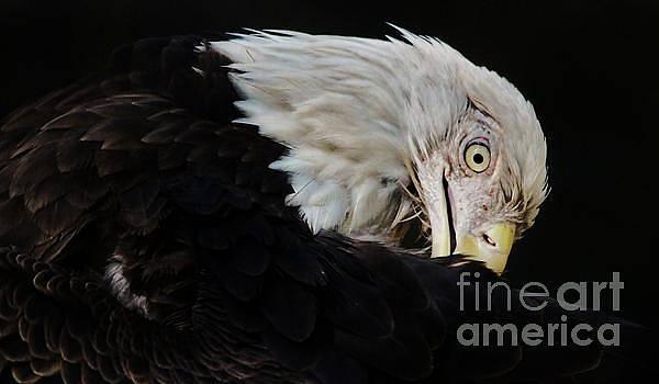 Paulette Thomas - American Bald Eagle Up Close
