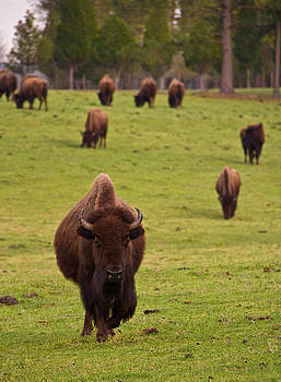 American Bison 1 by Jason Rossi