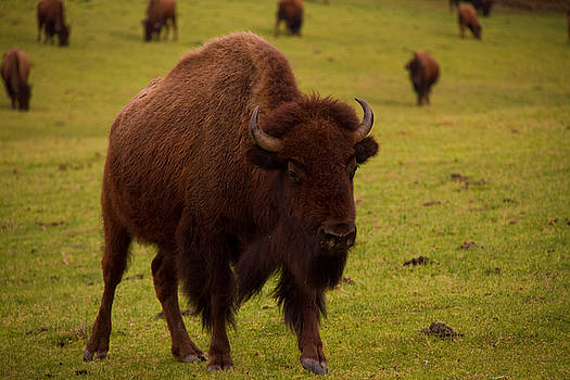 American Bison 2 by Jason Rossi
