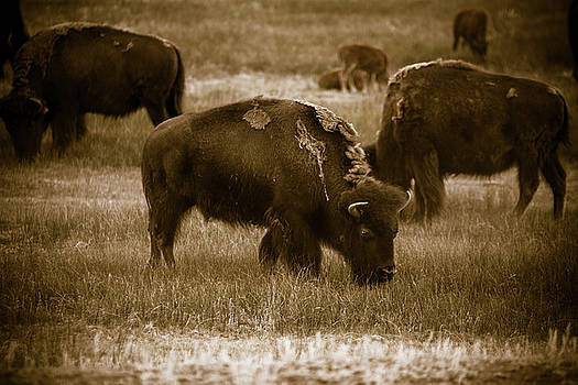 Chris Bordeleau - American Bison Grazing - BW