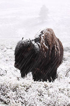American Bison In Snowstorm by Max Allen
