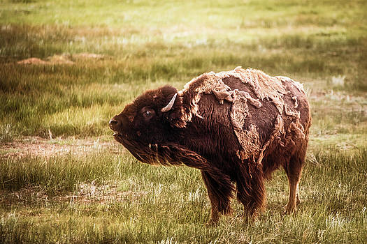 Chris Bordeleau - American Bison into the wind