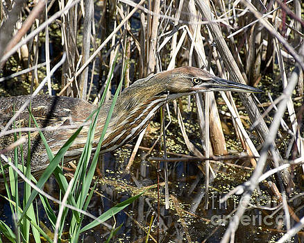 American Bittern Focused by Kathy M Krause