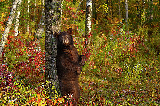 Reimar Gaertner - American Black Bear rubbing its back on a rough tree in an Autum