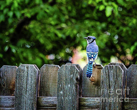 Jon Burch Photography - American Blue Jay