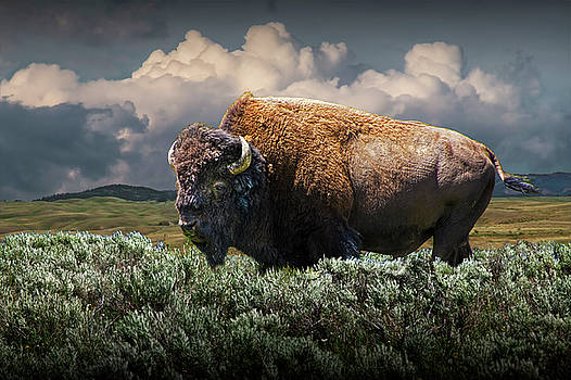 Randall Nyhof - American Buffalo Bison in Yellowstone National Park