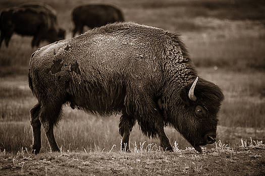 Chris Bordeleau - American Buffalo Grazing